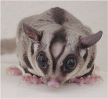 Lilo the Sugar Glider