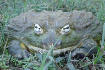 Pickles the African Burrowing Bullfrog