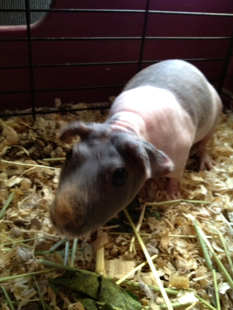 Taffy – the Hairless Guinea Pig (rare)