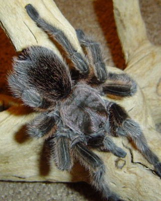 Buster-the-tarantula (1)